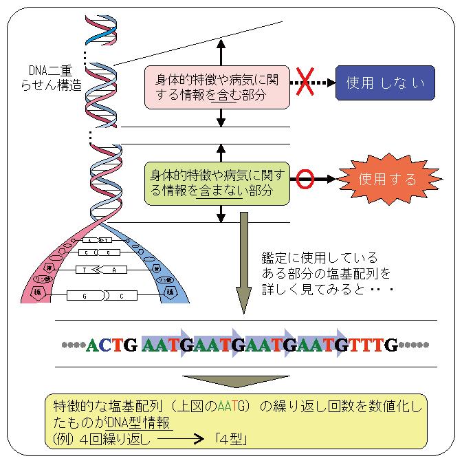 DNA型鑑定 - DNA profiling